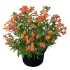 Alstroemeria Garden Summer Relieve ®