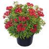 Alstroemeria Garden Summer Red ®