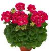 FlowerFairy Red Splash