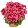 Candyflower Red