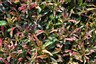 Alternanthera bettzickiana Burgundy