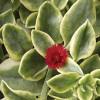Aptenia cordifolia Variegated