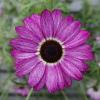 Argyranthemum Grandaisy Pink Tourmaline ®