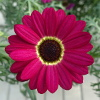 Argyranthemum Grandaisy Ruby ®