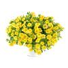 Lia Yellow