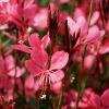 Belleza Dark Pink