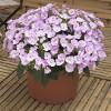 Sunpatiens Compact Orchid Blush