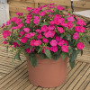 Sunpatiens Vigorous Rose Pink