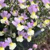 Sunsatia Pink Lemonade