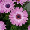 Compact FlowerPower Lavender Pink