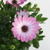 FlowerPower Pink Eye