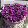Compact FlowerPower Purple