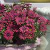 FlowerPower Red