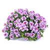 Virgo Bicolour Purple