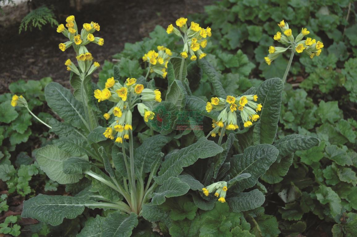 Cowslip Yellow