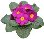 Primus F1 Violet