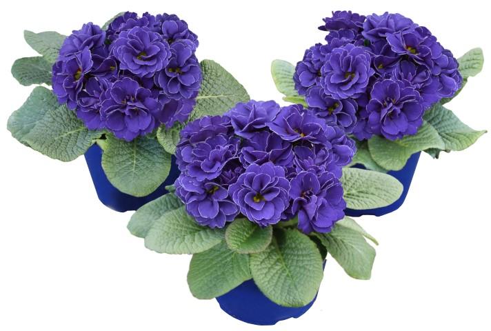 Rubens Blue Shades