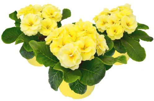 Rubens Lemon Shades