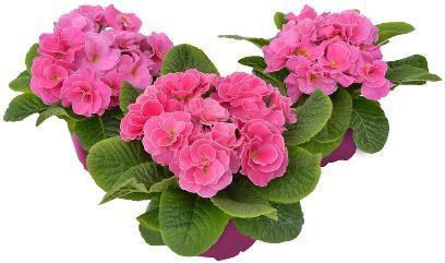 Rubens Pink Shades
