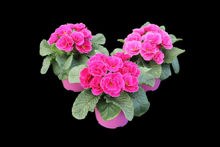 Rose Shades