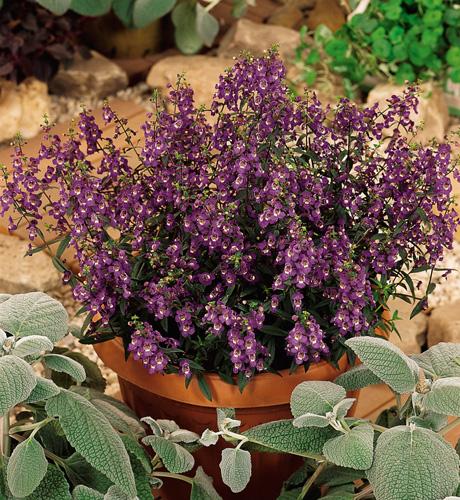 Serena Purple