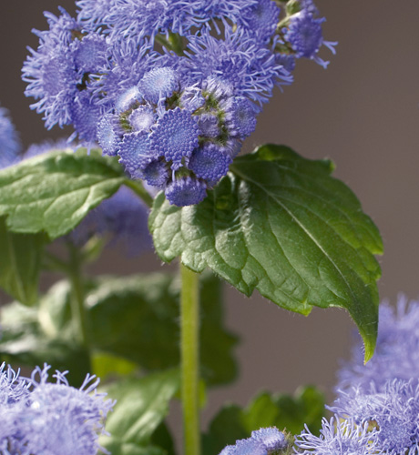 Ageratum houstonianum City Blue