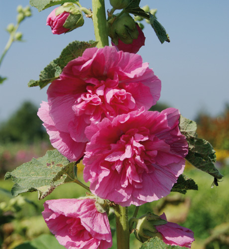 Chater's Rose