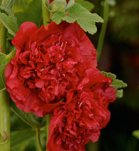 Chater's Scarlet