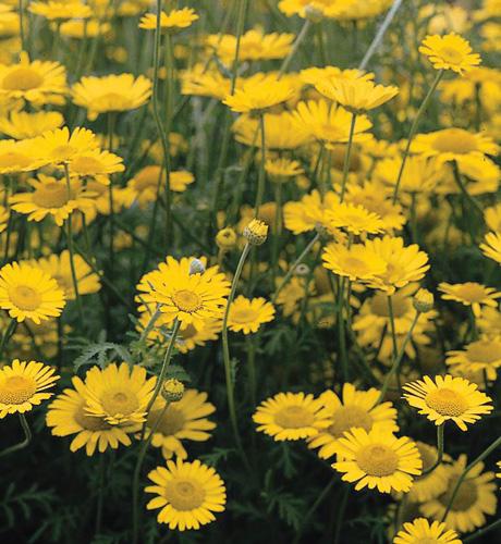Yellow chamomile
