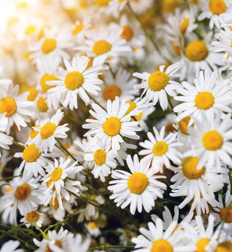 (fleur de) camomille