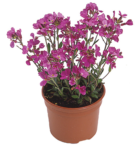 Arabis blepharophylla Pink Charm