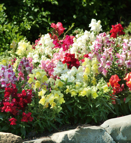Antirrhinum majus Lion King Mix