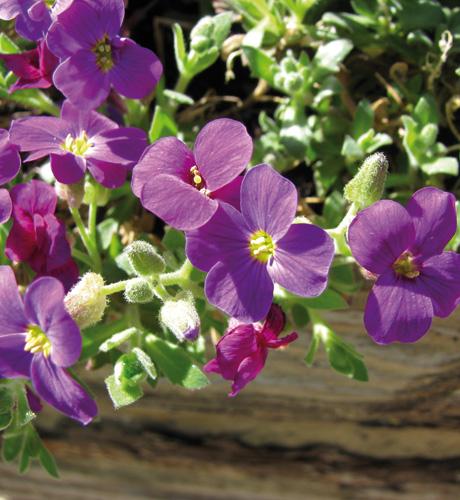 Royal Violet