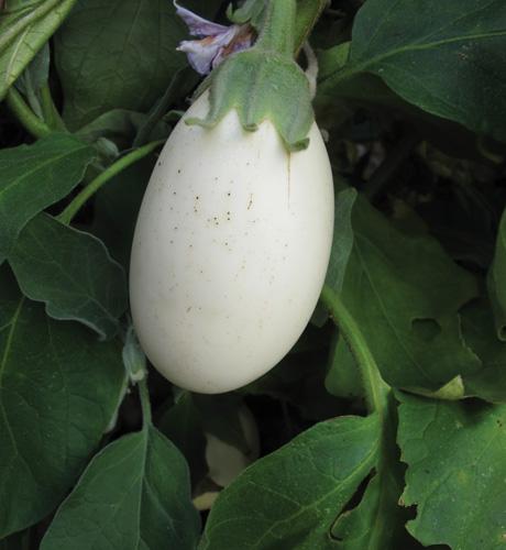 Aubergine Ivory