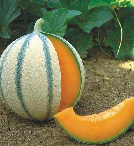 Meloen Anasta