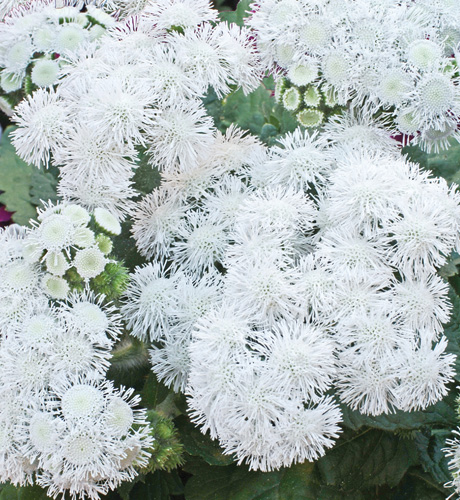 Ageratum houstonianum Top White