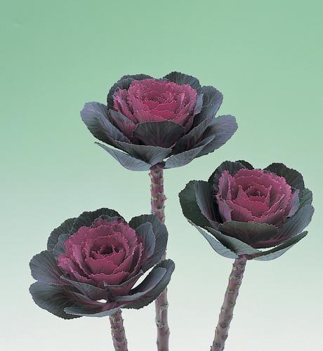 Crane Rose