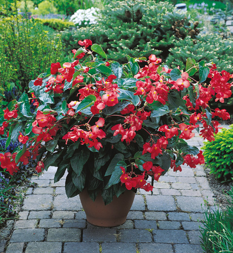 Begonia hybrida Dragon Wing Red
