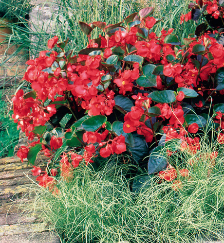Begonia hybrida Big Bronze Red Improved
