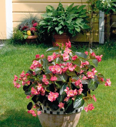 Begonia hybrida Big Bronze Rose