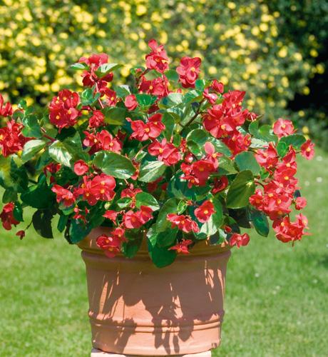Begonia hybrida Big Red