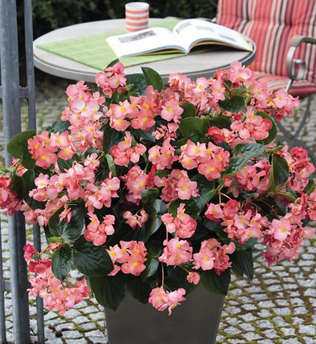 Begonia hybrida Big Pink