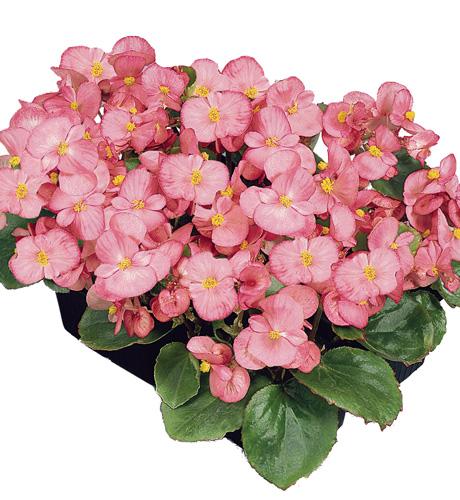 Begonia semperflorens Mascotte Rose