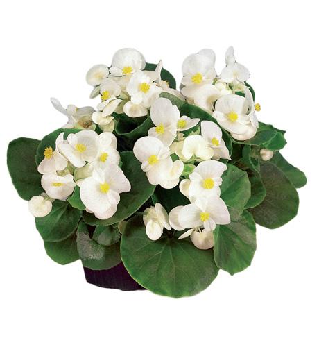Begonia semperflorens Mascotte White