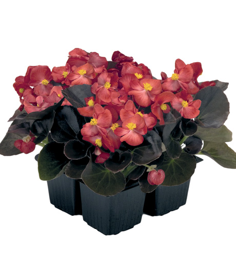 Begonia semperflorens Mascotte Bronze Scarlet