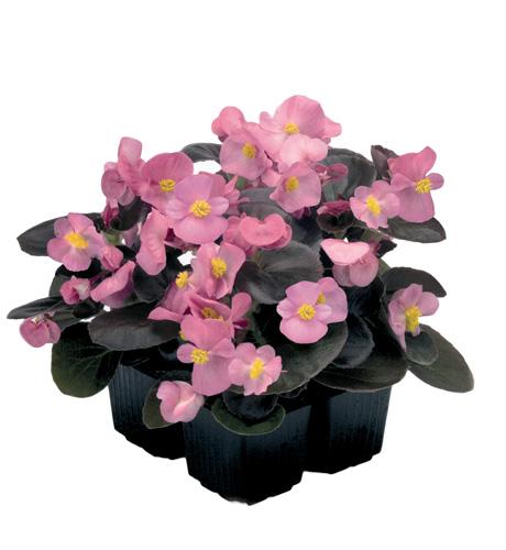 Begonia semperflorens Mascotte Bronze Rose