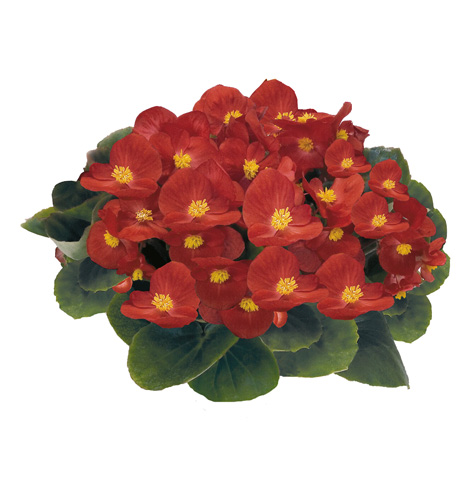 Begonia semperflorens Mascotte Scarlet Improved