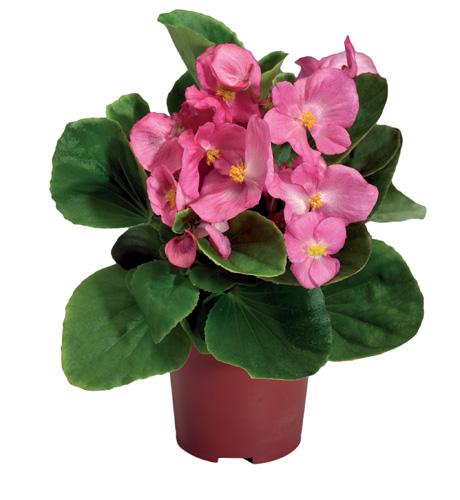 Begonia semperflorens Maxima Rose Pink