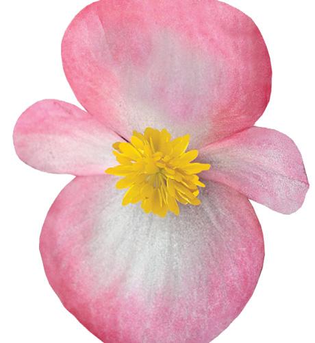 Maxima Rose Bicolor