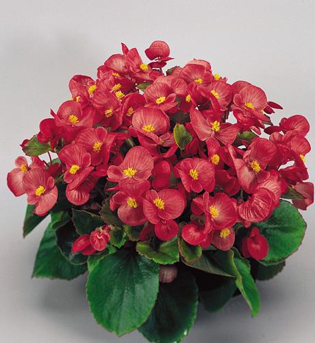 Super Olympia Rose